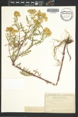 Senecio eremophilus var. macdougalii image