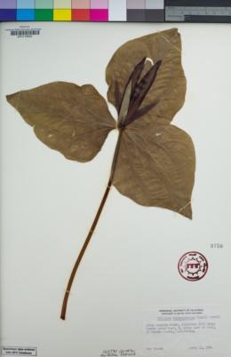 Trillium chloropetalum image