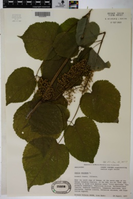 Aralia racemosa image