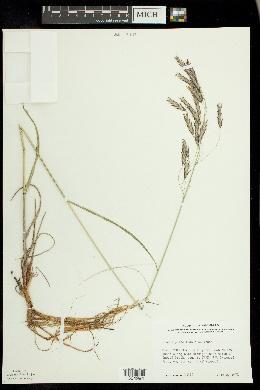 Bromus pumpellianus image