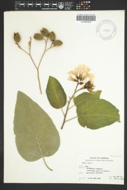 Image of Cordia myxa