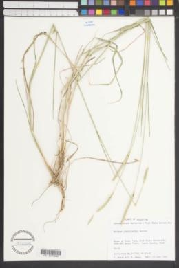 Image of Hordeum stenostachys