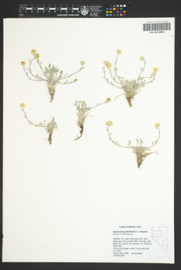 Sphaeromeria potentilloides image