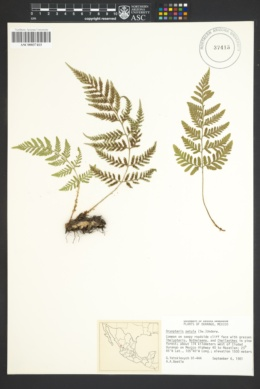 Image of Dryopteris patula