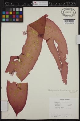 Halymenia hollenbergii image