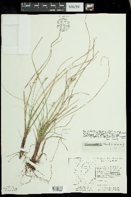 Carex artitecta image