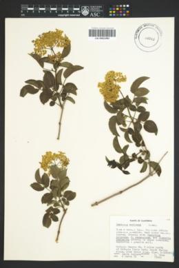 Sambucus canadensis image