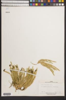 Image of Lycopodium pungens