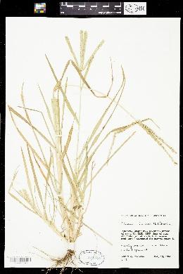 Eleusine indica image