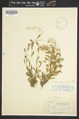 Draba viridis image