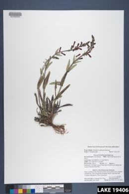 Penstemon utahensis image