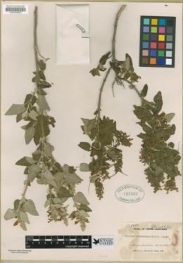 Image of Salvia scorodoniaefolia