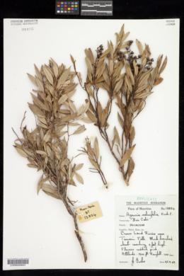 Image of Agauria salicifolia