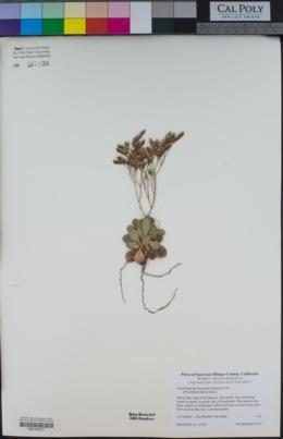 Limonium duriusculum image