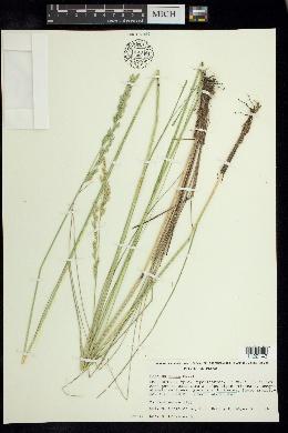 Image of Festuca rosei