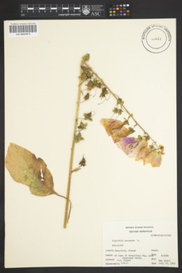 Digitalis purpurea image