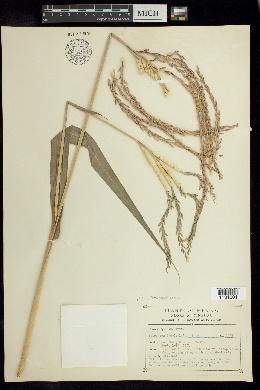 Image of Tripsacum laxum