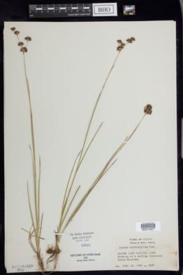 Juncus orthophyllus image
