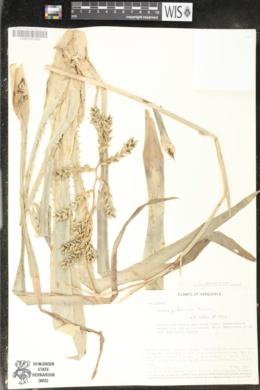 Image of Aechmea pubescens