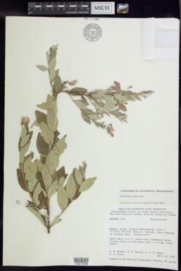 Banisteriopsis goiana image