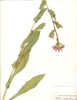 Eurybia integrifolia image
