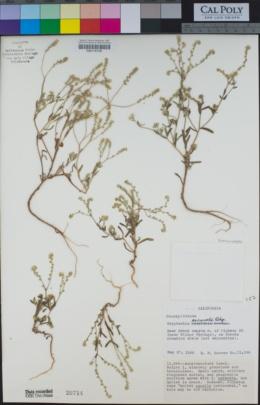 Image of Cryptantha excavata