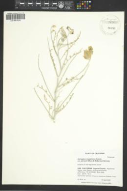 Astragalus magdalenae image
