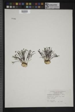 Lomatium linearifolium image