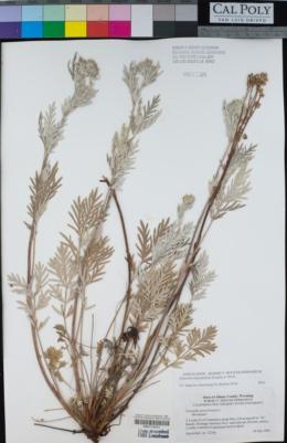 Image of Potentilla bipinnatifida