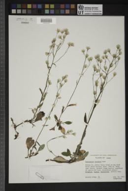 Antennaria racemosa image
