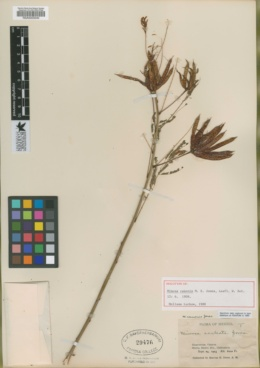 Image of Mimosa canonis