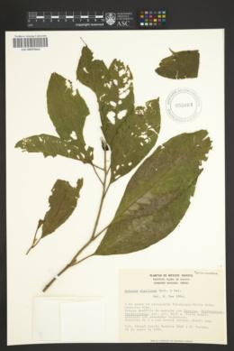 Solanum nigricans image