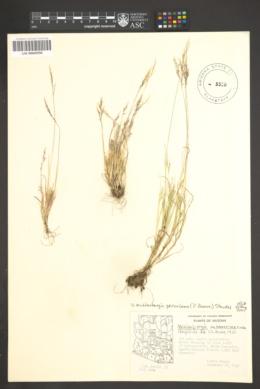 Muhlenbergia peruviana image