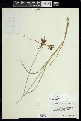 Cyperus hypopitys image
