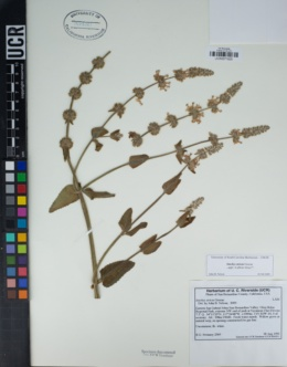 Stachys stricta image