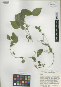 Acalypha burquezii image