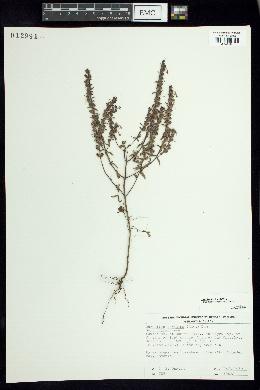 Odontites vulgaris image