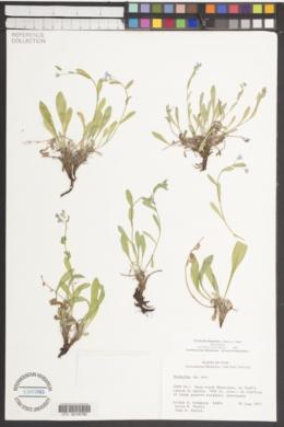 Image of Hackelia ibapensis