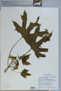 Image of Cnidoscolus aconitifolius