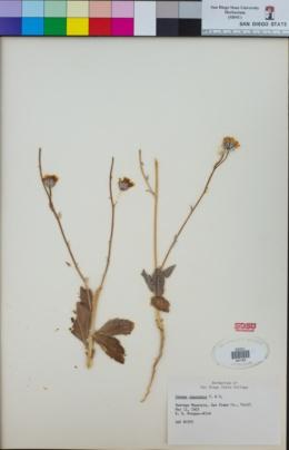 Geraea canescens image