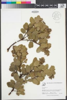 Image of Arctostaphylos confertiflora