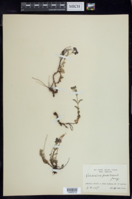 Image of Veronica fruticans