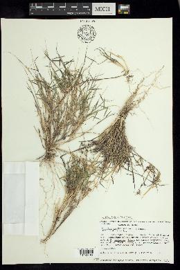 Image of Muhlenbergia cenchroides