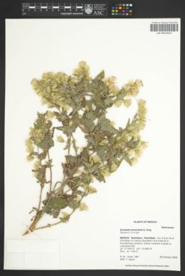Image of Brickellia tomentella