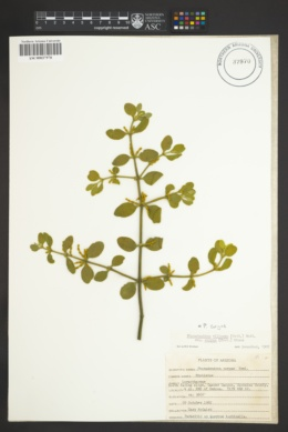 Phoradendron leucarpum image