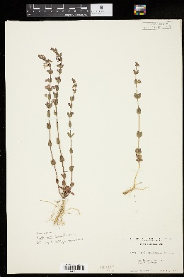 Image of Scutellaria australis