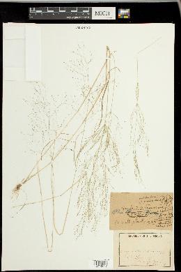 Image of Agrostis nebulosa