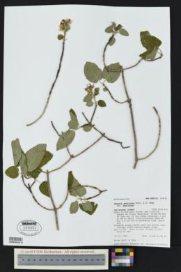 Jamesia americana var. americana image