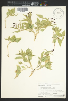 Asclepias vestita image