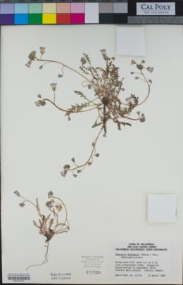 Phacelia douglasii image